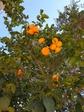 Лимоны цвета апельсина
