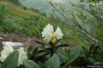Альпийская роза - Рододендрон...