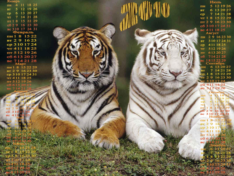 Животные тигры картинки 4